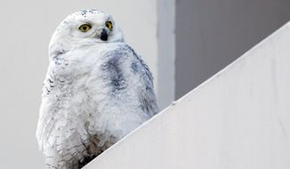 FILE - In this Jan. 24, 2014 file photo, a snowy owl rests on a ledge of a building in Washington. Reports from tens of thousands of bird-counting volunteers show a southern invasion of Arctic-dwelling snowy owls has spread to 25 states, and frigid cold is causing unusual movements of waterfowl. (AP Photo/Manuel Balce Ceneta, File)