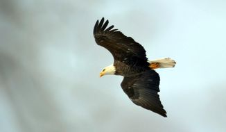 In this Feb. 6, 2014 photo provided by DTE Energy is an eagle soaring above land set aside by DTE Energy for wildlife habitat preservation in Monroe, Mich. Close to 200 bald eagles have taken up residence at the plant along Lake Erie. (AP Photo/Courtesy DTE Energy, Dave Mitchell)
