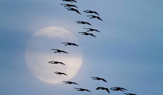 FILE -  In this Friday, March 18, 2011 photo, Sandhill cranes fly in formation in front a nearly full moon near Alda, Neb. The cranes have begun to arrive to the Platte River basin on their annual migration north to Canada, Alaska and Siberia. (AP Photo/Nati Harnik)