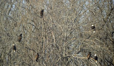 In this Feb. 6, 2014 photo provided by DTE Energy is an eagle in a tree on land set aside by DTE Energy for wildlife habitat preservation in Monroe, Mich. Close to 200 bald eagles have taken up residence at the plant along Lake Erie. (AP Photo/Courtesy DTE Energy, Dave Mitchell)