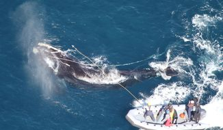 """This photo released by the Georgia Department of Natural Resources shows Right whale #4057 circling to the right as responders from the Georgia Department of Natural Resources and Florida Fish and Wildlife Conservation Commission throw a custom-made """"cutting grapple,"""" hoping to sever the long strand of fishing rope exiting the whale's mouth. Seconds later the heavy rope parted and the whale swam away unencumbered. (AP Photo/ Florida Fish and Wildlife Conservation Commission, taken under NOAA permit #15488)"""