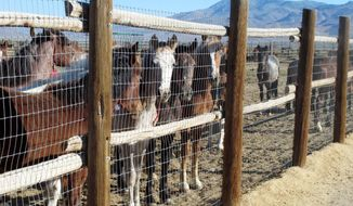 FILE - In this June 5, 2013, file photo, horses stand behind a fence at the Bureau of Land Management's Palomino Valley holding facility in Palomino Valley, Nev. The head of the government's $70 million wild horse management program warned last summer it is headed for financial collapse unless ``drastic changes'' are made. Lingering drought, a record 49,000 mustangs in long- and short-term holding, and an on-range population that doubles every four years and is projected to exceed 60,000 in 2015, threaten the program's future. (AP Photo/Scott Sonner, File)
