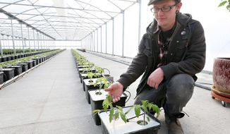 Cody Garwood, of Cardinal Farms shows hydroponically grown tomato plants inside the greenhouse at Cardinal Farms in Dakota City, Neb. on Friday, Feb. 7, 2014.  The greenhouse contains a network of pipes and tubes running nutrient-rich water into pots of tomatoes and cucumbers lined up in neat rows. If you're going to have tomatoes ready to harvest by May 1, you've got to get them growing in January.  (AP Photo/The Sioux City Journal, Dawn J. Sagert)