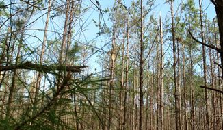 A stand of trees damaged in the worst ice storm in South Carolina in a decade is seen near Smoaks, S.C., on Wednesday, Feb. 19, 2014. Officials estimate the storm damage could rival the nearly $100 million in timber damage caused by a storm in 2004. (AP Photo/Bruce Smith)