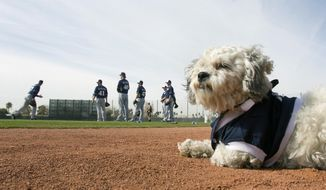 Hank, a stray dog that the Brewers recently found wandering their practice fields at Maryvale Baseball Park watches spring training on Friday, Feb. 21, 2014, in Phoenix. The team and staff have been taking care of Hank since he was found at the park on President's Day. Hank is named  after Hank Aaron. (AP Photo/The Arizona Republic, Cheryl Evans)  MARICOPA COUNTY OUT; MAGS OUT; NO SALES