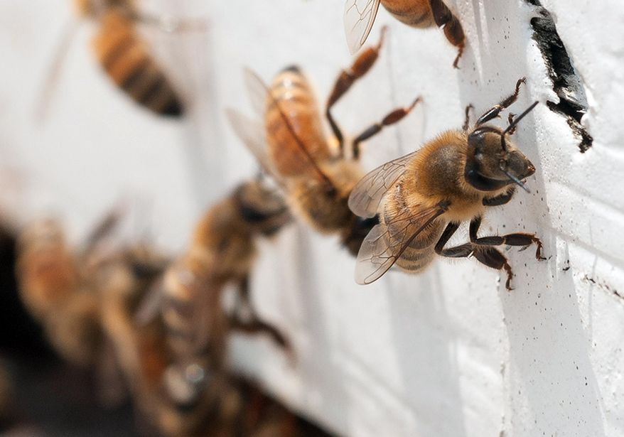 """In this May 22, 2013 photo provided by the U.S. Department of Agriculture, honeybees with """"saddlebags"""" of pollen attached to their hind legs return to an apiary in Washington, D.C. The USDA hopes to help honeybees by providing $3 million to farmers and ranchers in five states to improve their pastures. It turns out that dairy cows and bees like many of the same plants. (AP Photo/USDA, Lance Cheung)"""