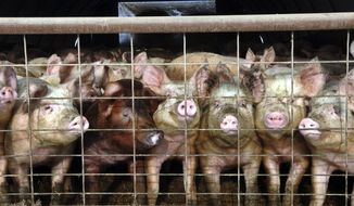 FILE - In this Jan. 4, 2005 file photo, a group of young pigs stare out of a pen at a hog farm in central North Dakota. A virus that has killed more than 4 million pigs in the U.S. in less than a year has been found in a swine herd in the eastern part of North Dakota.  The virus was first found in the country in April 2013. The American Association of Swine Veterinarians says 25 states have now reported at least one confirmed case. (AP Photo/Will Kincaid, File)
