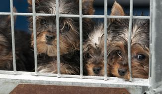 FILE - In this Feb. 3, 2014 file photo, rescued Yorkshire terrier puppies peer out from their enclosure at Lied Animal Shelter in Las Vegas where 27 puppies were taken after a fire at Gloria Lee's Prince and Princess Pet Boutique. A pet shop co-owner is suing to stop a raffle of the 27 puppies rescued from a Las Vegas business that authorities say a woman and a man tried to torch. (AP Photo/Las Vegas Review-Journal, Erik Verduzco, File) LOCAL TV OUT; LOCAL INTERNET OUT; LAS VEGAS SUN OUT