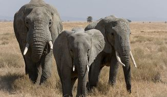 African elephants can differentiate between human languages to detect danger, suggesting that the largest land animals on Earth are even more intelligent than previously thought, a new study revealed. (Wikipedia)