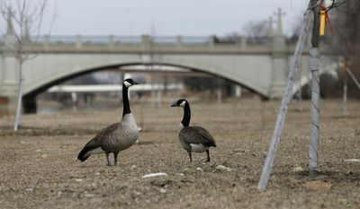 In this Monday, March 17, 2014 photo, Geese walk around the Olentangy River near Ohio State University in Columbus, Ohio. Columbus plans to use fireworks and lasers to scare off the birds it says are thwarting the city's efforts to develop newly widened river banks, according to the Columbus Dispatch. (AP photo/ The Columbus Dispatch, Adam Cairns)