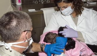 This photo provided by the San Diego Zoo Safari Park shows the animal care staff tending to a one-day-old baby girl gorilla who was born at the San Diego Zoo Safari Park after an emergency c-section procedure Wednesday March, 12, 2014. Safari Park keeper Jennifer Minichino carefully holds the new baby while Dr. Jack Allen, examines the newborn gorilla.  Imani is recovering from surgery in the familiar surroundings of the gorilla bedroom area. This is the first baby for Imani and the 17th gorilla to be born at the San Diego Zoo Safari Park. (AP Photo/San Diego Zoo Safari Park)