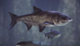 FILE - In this Jan. 12, 2010 file photo, Asian bighead carp swim in an exhibit at Chicago's Shedd Aquarium. A group of U.S. senators wants the federal government to move faster on preventing Asian carp from reaching the Great Lakes through waterways in the Chicago area. (AP Photo/M. Spencer Green, File)