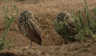 In this undated photo, burrowing owls looks on in Wildomar, Calif. The National Park Service says a proposed 6.5-square-mile solar development about a half-mile from the Mojave National Preserve would harm wildlife, such as the borrowing owl. (AP Photo/The Press-Enterprise, Stan Lim)  MAGS OUT; MANDATORY CREDIT