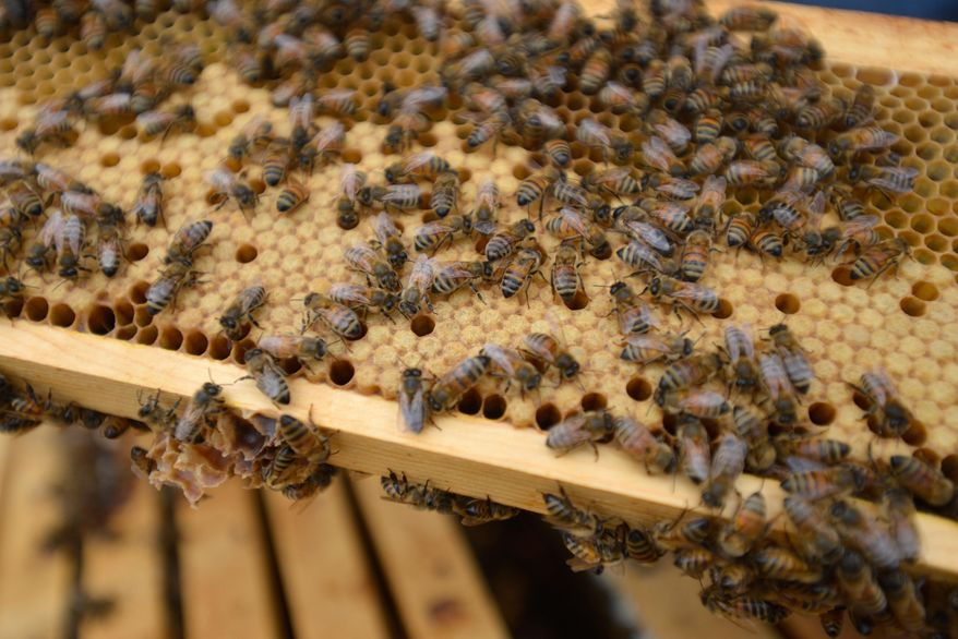 This March 6, 2014, photo shows bees at the UGA honeybee lab in Athens, Ga.,  on March 6, 2014.  UGA researcher Keith Delaplane for years has studied bees and the reasons the possible reasons behind their population decline.  (AP Photo/The Banner-Herald, Richard Hamm)
