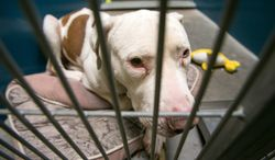 This March 11, 2014 photo shows Mickey, a pit bull, at West Valley Animal Care Center in Phoenix, Ariz.  Mickey attacked four-year-old Kevin Vicente on Feb. 20, 2014.  Mickey is now the object of a Facebook page that has garnered more than 59,000 likes on Facebook.  The case moves to a Phoenix courtroom Tuesday March 25, 2014, as a judge hears arguments on whether Mickey should live or die, a question that has riled up thousands of animal lovers on social media.  (AP Photo/The Arizona Republic, Michael Schennum)  MARICOPA COUNTY OUT; MAGS OUT; NO SALES
