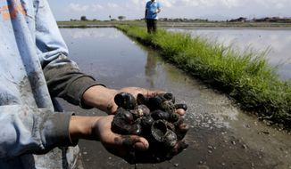 In this Feb. 10, 2014, photo, a farmer shows a cluster of dead snails prior to being prepared for planting at a rice field in Calamba city, Laguna province, about 70 kilometers (44 miles) south of Manila, Philippines. The aftermath of Typhoon Haiyan in the Philippines has added urgency to finding a solution to a longstanding problem: Less than 10 percent of farmers have crop insurance, and while its advantages are widely understood, few can afford it. (AP Photo/Bullit Marquez)