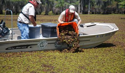 This photo provided by the LSU AgCenter shows James Seales, left, and Kevin Houston, both biologists with the Louisiana Department of Wildlife & Fisheries, working with LSU AgCenter scientists in spreading the salvinia weevil, which are in the plants being dumped into Lake Bistineau. (AP Photo/LSU AgCenter , Johnny Morgan)