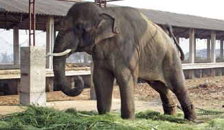 In this Feb. 19, 2014 photo provided by People for the Ethical Treatment of Animals (PETA), 14-year-old elephant Sunder stands chained outside a poultry shed in Kolhapur in the western Indian state of Maharashtra. The Indian government had ordered the elephant returned to the wild after Paul McCartney highlighted the animal's plight during a 2012 trip to India. Instead, PETA said, a local politician took Sunder home and shackled him outside a poultry shed. (AP Photo/People for the Ethical Treatment of Animals)