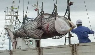 In this September, 2013 photo,  a minke whale is unloaded at a port after a whaling for scientific purposes in Kushiro, in the northernmost main island of Hokkaido. The International Court of Justice on Monday, March 31, 2014, ordered a temporary halt to Japan's Antarctic whaling program, ruling that it is not for scientific purposes as the Japanese had claimed. Australia had sued Japan at the U.N.'s highest court for resolving disputes between nations in hopes of ending whaling in the icy Southern Ocean.  (AP Photo/Kyodo News) JAPAN OUT, MANDATORY CREDIT