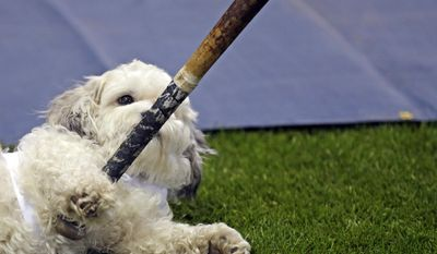 10ThingstoSeeSports - Hank, the unofficial mascot of the Milwaukee Brewers, plays with a player's bat on the field before an opening day baseball game between the Milwaukee Brewers and Atlanta Braves at Miller Park, Monday, March 31, 2014, in Milwaukee. (AP Photo/Jeffrey Phelps, File)