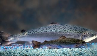This undated 2010 handout photo provided by AquaBounty Technologies shows two same-age salmon, a genetically modified salmon, rear, and a non-genetically modified salmon, foreground. Don't expect to find genetically modified salmon on store shelves any time soon. The Obama administration has stalled for more than four years on deciding whether to approve a fast-growing salmon that would be the first genetically modified animal approved for human consumption.  (AP Photo/AquaBounty Technologies) NO SALES