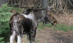 In this photo taken March 21, 2013 by Hans Krauss via The Spokesman-Review, shows a bull moose, before sprouting new antlers, in the Ponderosa neighborhood of Spokane Valley, Wash. The moose's condition, including the hair rubbed off its ears, indicates the bull has been infested with ticks. (AP Photo/Courtesy of Hans Krauss via The Spokesman-Review) COEUR D'ALENE PRESS OUT.