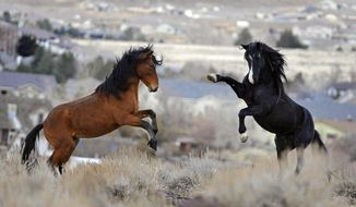 FILE - In this Jan. 13, 2010 file photo, two young wild horses play while grazing in Reno, Nev. Wild horse protection advocates say the government is rounding up too many mustangs while allowing livestock to feed at taxpayer expense on the same rangeland scientists say is being overgrazed. (AP Photo/Reno Gazette-Journal, Andy Barron, File) NEVADA APPEAL OUT;  NO SALES