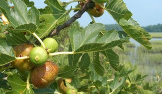 ADVANCE FOR SATURDAY, APRIL 5 AND THEREAFTER - This photo taken on Aug. 17, 2007 and provided by Bernie Herman shows Hog Island figs as they ripen on the branches of their bush in Willis Wharf, Va. An international organization wants to add President Grover Cleveland's celebrated Hog Island fig to a collection of distinguished foods to be preserved for future generations.   (AP Photo/Bernie Herman)