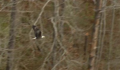 In this photo taken from video on March 27, 2014, an adult bald eagle takes flight near its nest on Lake Sinclair in central Ga. Georgia Department of Natural Resources was conducting the second round of their annual eagle nest survey to determine population growth. (AP Photo/Johnny Clark)