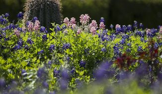 In this April 10, 2014 photo, Bluebonnets bloom near the University of Texas Tower in Austin, Texas. The flower beds are now also home to a variant known as Alamo Fire, which is a shade of maroon, and had some wondering if it is a Texas A&M prank. (AP Photo/Austin American-Statesman, Dborah Cannon)  AUSTIN CHRONICLE OUT, COMMUNITY IMPACT OUT, INTERNET AND TV MUST CREDIT PHOTOGRAPHER AND STATESMAN.COM, MAGS OUT