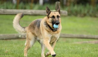 **FILE** In this April 15, 2014 photo, Barrett Griner IV plays fetch with his five-year-old German shepherd, IV, in Bridgeton, N.J. (AP Photo/South Jersey Times, Cindy Hepner)