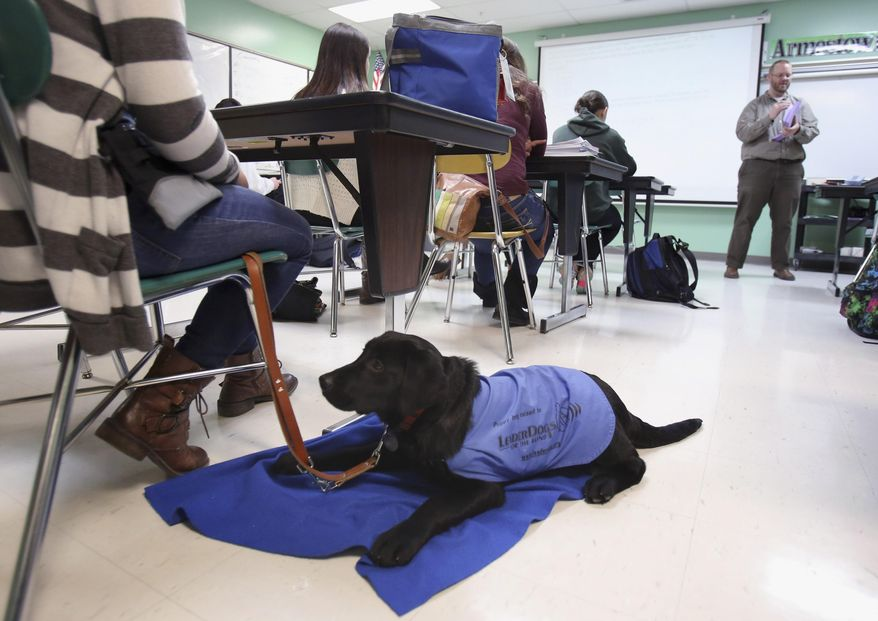 In this March 17, 2014 photo, 16-year-old Abbey Perkowitz attends an ACT prep class with 5-month-old Bailey, a service dog she is training at Grayslake Central High School in Grayslake, Ill. (AP Photo/Daily Herald, Steve Lundy)