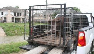 In this photo taken on July 8, 2007, a feral hog, which had been rooting and destroying yards and landscaping, was live-trapped just outside Houston's city limits. Property-destroying feral hogs being trapped near two reservoirs will be butchered and the meat donated to food banks. (AP Photo/Houston Chronicle, Shannon Tompkins)
