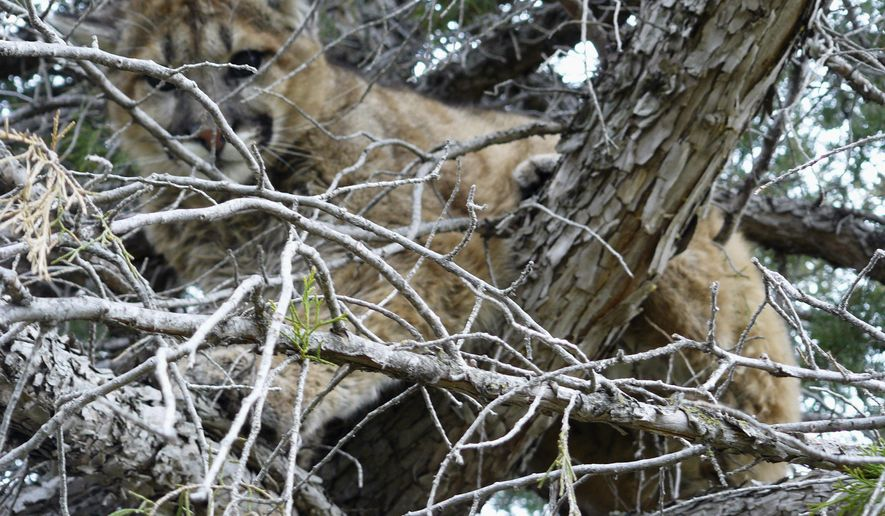 This Wednesday, April 23, 2014 photo provided by the South Dakota Department of Game, Fish and Parks shows a mountain lion in a tree outside a home in Spearfish, S.D. Game Warden Mike Apland says a couple enjoying an early morning cup of coffee on their deck noticed the cougar in the tree and called authorities. The cougar was tranquilized and later released a few miles away in a rural area. (AP Photo/Courtesy of the South Dakota Department of Game, Fish and Park, Mike Apland)