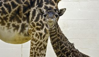 In this photo provided by the Cincinnati Zoo, a newborn giraffe calf stands next its mother, Monday, April 28, 2014, in Cincinnati. Because of her very public birth, the zoo has decided to ask the public to suggest names for the calf on its Facebook page. (AP Photo/Cincinnati Zoo, Michelle Curley)