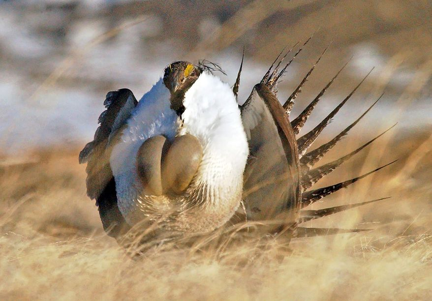 """FILE --This April 15, 2008 file photo shows a male sage grouse performing  his """"strut"""" near Rawlins, Wyo. The federal government paid $236 million to landowners in 11 states to preserve sage grouse habitat amid a debate over whether the bird should be listed as an endangered species, potentially hindering energy development and ranching. The Casper Star-Tribune reported Wednesday, April 30, 2014, that the money was paid for conservation efforts on nearly 6,000 square miles, mostly in the West, over a four-year period. (AP Photo/Rawlins Daily Times, Jerret Raffety, File)"""