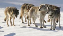 FILE - In this  Feb. 10, 2006 file photo released by Michigan Technological University, a pack of gray wolves is shown on Isle Royale National Park in northern Michigan. Scientists on Wednesday, April 30, 2014 say the slumping wolf population at Isle Royale National Park is leading to a boom in the number of moose on the Lake Superior island chain. The development reflects what researchers say are dim prospects for the wolves' long-term survival and raises the possibility that a runaway moose population will damage the island's vegetation.  (AP Photo/Michigan Technological University, John Vucetich)