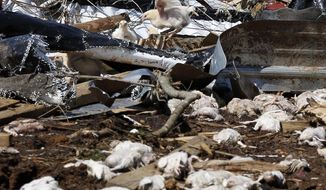 A surviving broiler flaps its wings amid the ruins of Wilkes Farm, an 8-chicken house operation that was leveled in Noxapater, Miss., Wednesday, April 30, 2014. The farm raises broilers for Tyson and each house has 28, 500 chickens. Several poultry raising farms near Louisville were damaged or destroyed by tornadoes Monday. (AP Photo/Rogelio V. Solis)