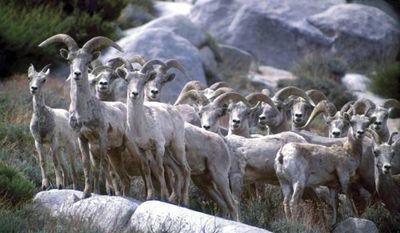 FILE - This undated file photo provided by the California Department of Fish and Game shows Sierra Nevada bighorn sheep in California. Nevada wildlife biologists are recommending 100 hunting tags for ewes to reduce the numbers of some bighorn sheep populations and improve the overall health of herds. The Nevada Board of Wildlife Commissioners earlier authorized the hunt _ the first in Nevada targeting female bighorn sheep. (AP Photo/California Department of Fish and Game, file)
