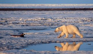 In this undated handout photo of a polar bear taken in the Arctic National Wildlife Refuge. More than two-thirds of the world's polar bears will be killed off by 2050 - the species completely gone from Alaska - because of thinning sea ice from global warming in the Arctic, government scientists forecast Friday. (AP Photo/Subhankar Banerjee, File)