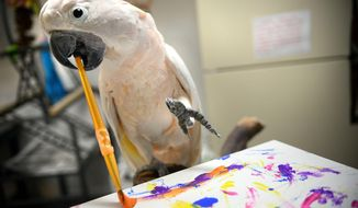 Philippe, a Moluccan Cockatoo, paints at Midwest Avian Adoption & Rescue Services in St. Paul, Minn. on Friday, May 2, 2014. An ordinary looking office building on St. Paul's near East Side is the home to about 80 unordinary birds  cockatiels and cockatoos, parrots and macaws. (AP Photo/The St. Paul Pioneer Press, Ben Garvin)  MINNEAPOLIS STAR TRIBUNE OUT