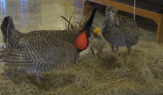 This photo from Friday, May 2, 2014, shows a display of two stuffed lesser prairie chickens at the Kansas Statehouse, in Topeka, Kan. Gov. Sam Brownback announced Saturday, May 10, 2014 that he signed a bill late Friday responding to the federal government's listing of the bird as threatened by declaring that only the state can regulate them and their habitats. (AP Photo/John Hanna)