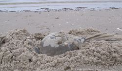 In this May 8, 2014 photo, a horseshoe crab burrows into the sand on a beach in Middle Township N.J. to lay eggs. A year-long project to replenish five Delaware Bay beaches that are vital to the continued survival of horseshoe crabs and the red knot, an endangered shorebird has been completed just in time for the second summer after Superstorm Sandy, which severely eroded the beaches and wrecked habitat for the animals. (AP Photo/Wayne Parry)