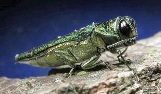 FILE - This undated file photo provided by the Minnesota Department of Natural Resources shows an adult emerald ash borer. North Dakota officials are trying to raise awareness of the emerald ash borer and prevent its spread into the state, which has about 78 million ash trees. Foresters in 30 cities and state parks will be tying ribbons along with informational fliers to publicly owned ash trees next week. (AP Photo/Minnesota Department of Natural Resources, File)