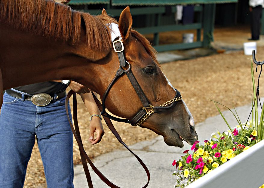 Kentucky Derby winner California Chrome tries to taste the flowers outside the stake barn after his morning bath at Pimlico Race Course in Baltimore, Md., Tuesday, May 13, 2014.  The Preakness Stakes is scheduled for Saturday, May 17. (AP Photo/Garry Jones)
