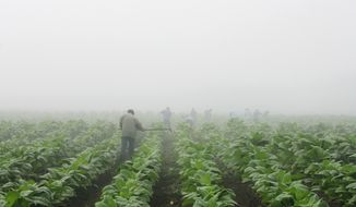 FILE - Farm workers make their way across a field shrouded in fog as they hoe weeds from a burley tobacco crop near Warsaw, Ky., early in this Thursday, July 10, 2008 file photo. You may have to be at least 18 to buy cigarettes in the U.S., but children as young as 7 are working long hours in fields harvesting nicotine- and pesticide-laced tobacco leaves under sometimes hazardous and sweltering conditions, according to a report released Wednesday May 14, 2014 by  Human Rights Watch. (AP Photo/Ed Reinke, File)