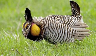 """FILE - In this April 5, 2007 file photo, a male prairie chicken is seen at the Prairie Ridge State Natural Area south of Newton, Ill.  The Illinois wildlife agency has offered details on its $520,000 program to import prairie chickens from Kansas to the state using state planes. This is the first year of a three-year program that's largely funded by federal dollars. Republican state Rep. Bill Mitchel of Forsyth on Thursday, May 15, 2014, called the program """"bizarre"""" and questioned the cost during a heated 10-hour House budget debate. (AP Photo/Journal Gazette, Stephen Haas, File)"""