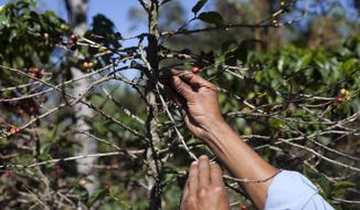 FILE - In this Feb. 9, 2013, file photo, small coffee producer Hector Perez show coffee beans damaged by the roya fungus in San Gaspar Vivar, Guatemala. The U.S. government is stepping up efforts to help Central American farmers fight a devastating coffee disease _ and to keep the price of your morning cup down. A fungus called coffee rust has already caused more than $1 billion in damage across the Latin American region. It is especially deadly to Arabica coffee, the bean that makes up most high-end, specialty coffees, and it is already affecting the price of some of those coffees in the United States.  (AP Photo/Moises Castillo, File)