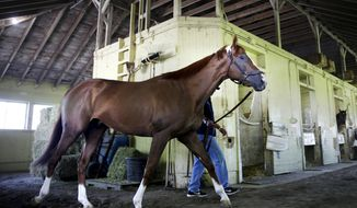 Triple Crown hopeful California Chrome is walked around his stables after arriving at Belmont Park in Elmont, N.Y., Tuesday, May 20, 2014. (AP Photo/Seth Wenig)