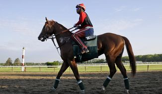 Exercise rider Willie Delgado rides California Chrome around the track at Belmont Park in Elmont, N.Y., Wednesday, May 21, 2014. California Chrome arrived in New York on Tuesday to begin preparations for his bid to become horse racing's first Triple Crown winner in 36 years. (AP Photo/Seth Wenig)